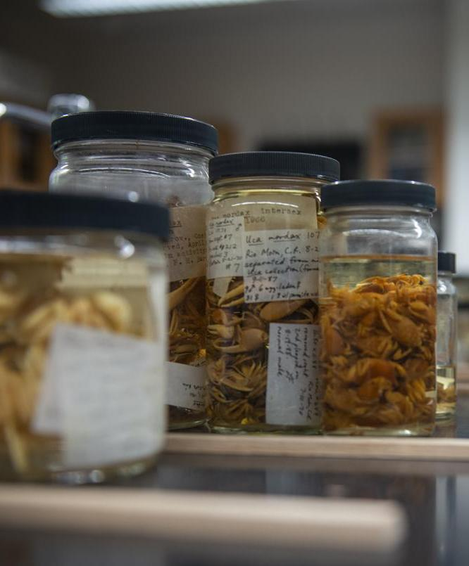 Specimens of land crab labeled and preserved in an alcohol solution.