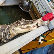 Steve, the American alligator that lives on the University of Northern Iowa's campus.